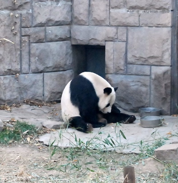 Giant_Panda_in_Beijing_Zoo
