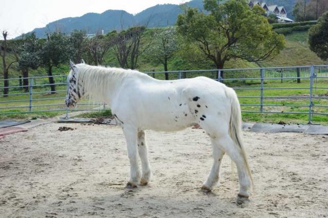 斑点模様が少しある白馬